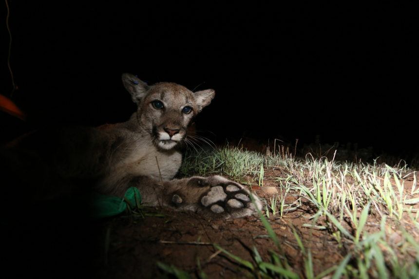 New Scientist | LA's Endangered Pumas to be Saved by a $60m Bridge Over Highway