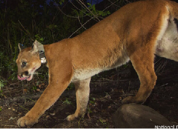 Another Mountain Lion Lost to the roads: RIP P-39