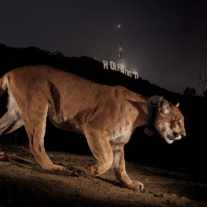 Men's Journal | A Lion Among Men: How One Emboldened and Endangered Mountain Lion Took Los Angeles By Storm