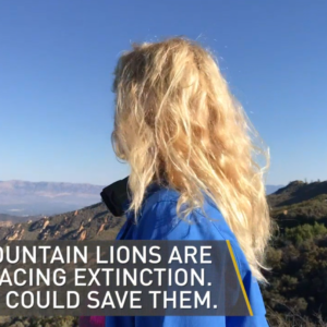NBC Los Angeles | Retracing the Steps of a Mountain Lion