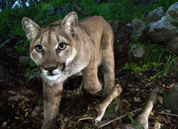 LA Times | California's mighty predator — the mountain lion — faces 'extinction vortex'