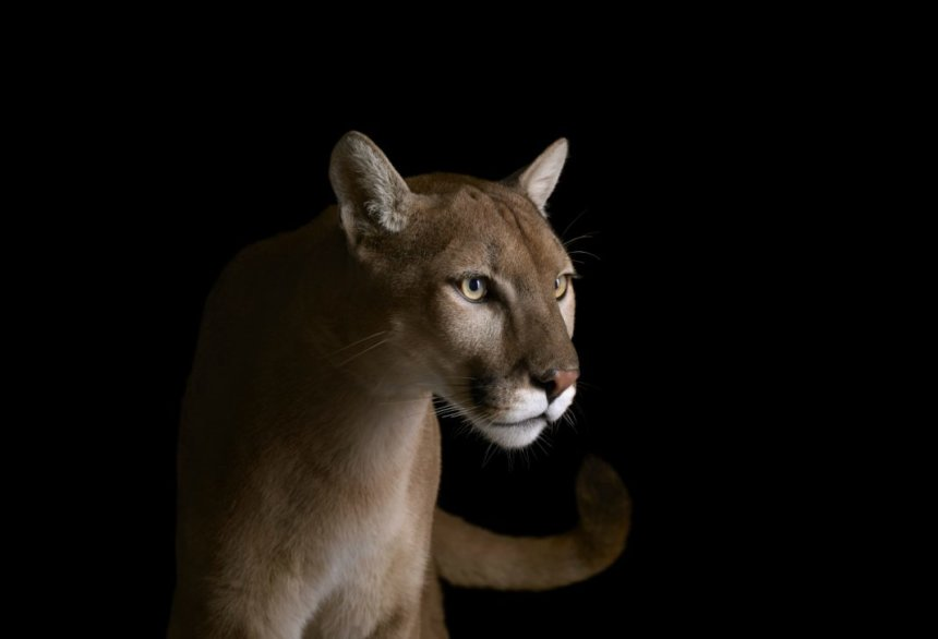 Los Angeles Magazine | In the Wake of the Wildfires, Mountain Lions Have Found Themselves in a Transformed World
