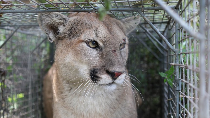 Outside | Why the Death of Mountain Lion P-56 Matters